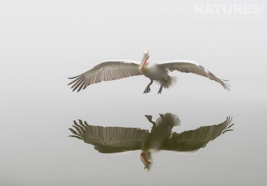 Perfectly reflected, one of the Dalmatian Pelicans prepares to land on the waters of Lake Kerkini photographed during the NaturesLens Dalmatian Pelican Photography Holiday
