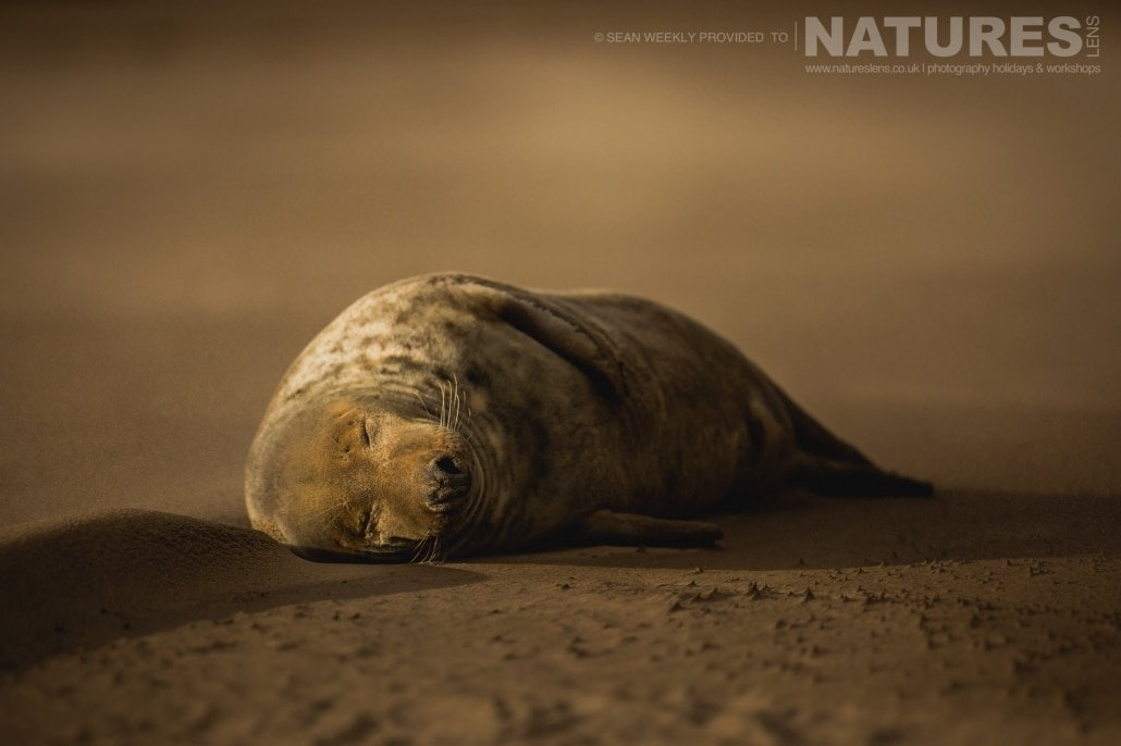 Resting whilst a sand storm rages around him, one of the seals of the Lincolnshire beaches photographed on the Seals of Lincolnshire Photography Holiday run by NaturesLens