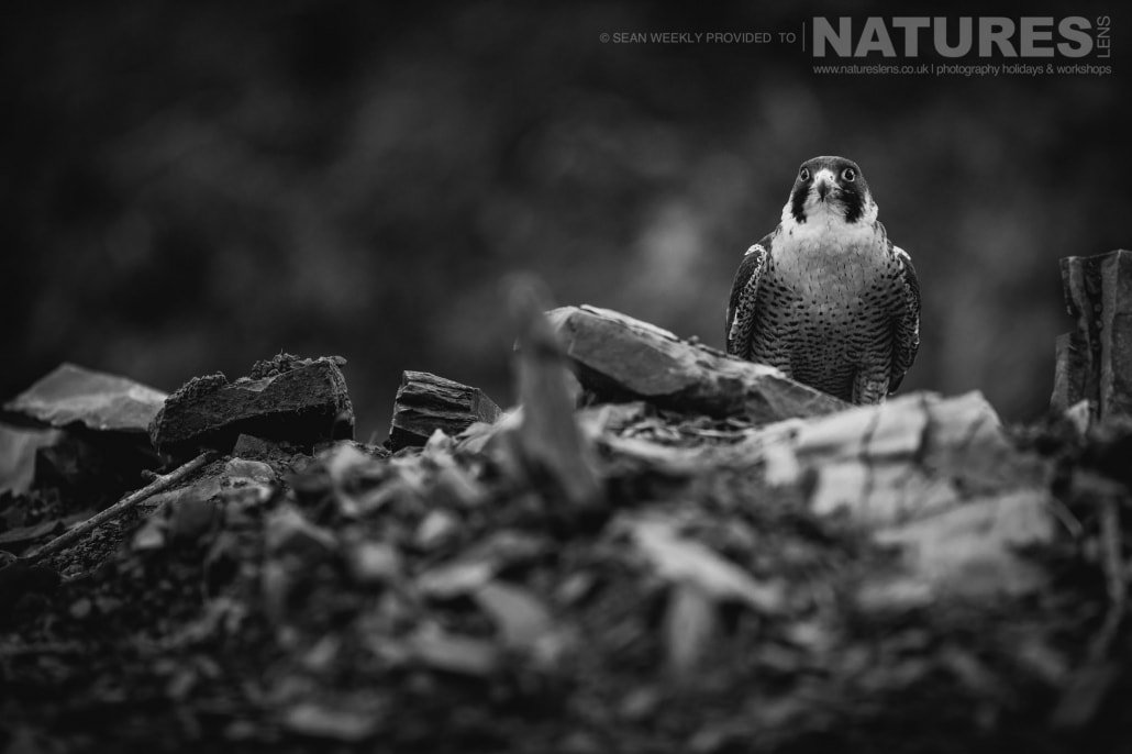 Settled in a small quarry area, the peregrine falcon photographed during a NaturesLens Birds of Prey Workshop in Mid Wales