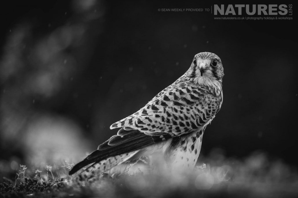 Stood upon a rocky vantage point, the kestrel snaps it's head around to lock onto a photographer photographed during a NaturesLens Birds of Prey Workshop in Mid Wales