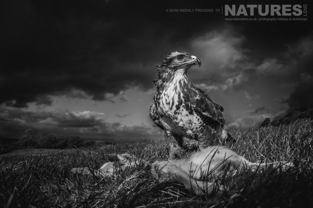 The buzzard stands proud at the top of one of the Welsh hills photographed during a NaturesLens Birds of Prey Workshop in Mid Wales