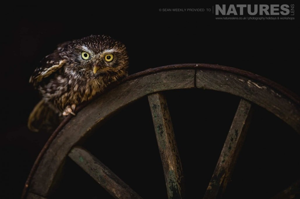 The little owl perched on a vintage wooden wheel photographed during a NaturesLens Birds of Prey Workshop in Mid Wales