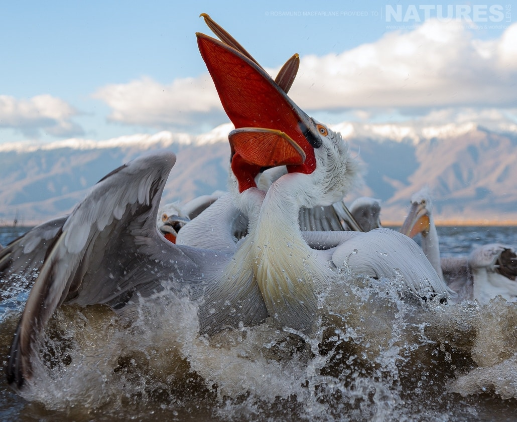 The shoreline feed frenzyThe close up stare of a Dalmatian Pelican photographed during one of the NaturesLens Photography Holidays for photography of Lake Kerkini's Pelicans