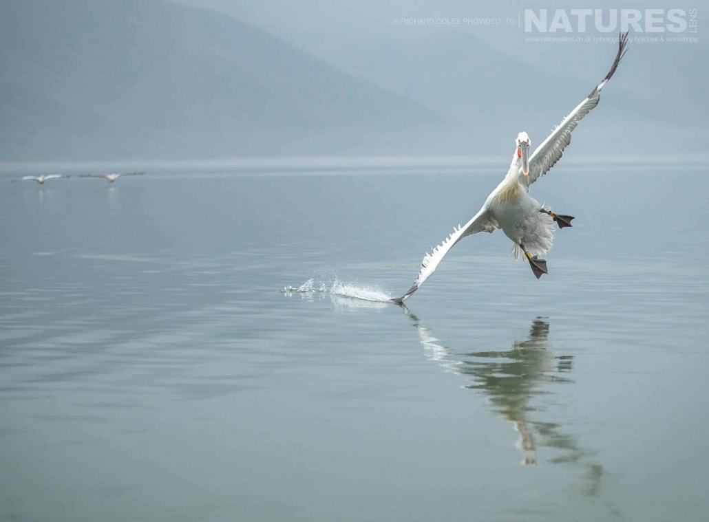 Wing cutting the water surface, one of the Dalmatian Pelicans comes in to land on Lake Kerkini photographed during one of the NaturesLens Photography Holidays for photography of the Pelicans of Lake Kerkini