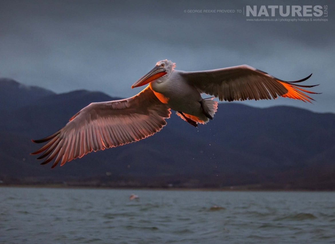 Wings illuminated by the rising sun, one of the Dalmatian Pelicans flies over the waters of Lake Kerkini photographed during one of the NaturesLens Dalmatian Pelican Photography Holidays