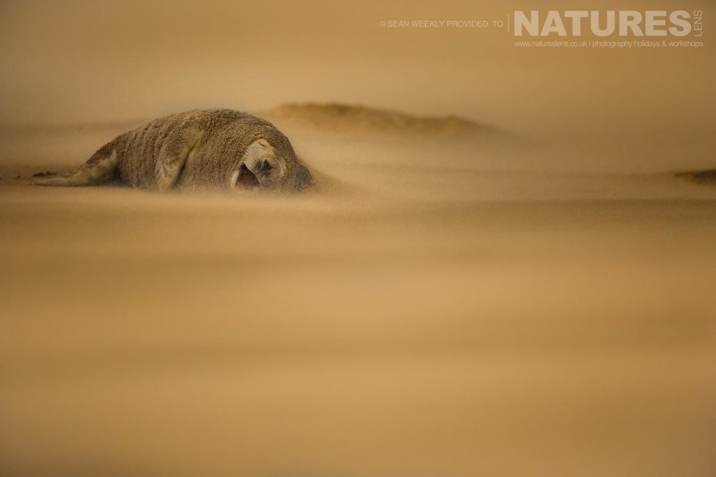 Yawning whilst a sand storm rages around him, one of the seals photographed on the Seals of Lincolnshire Photography Holiday run by NaturesLens