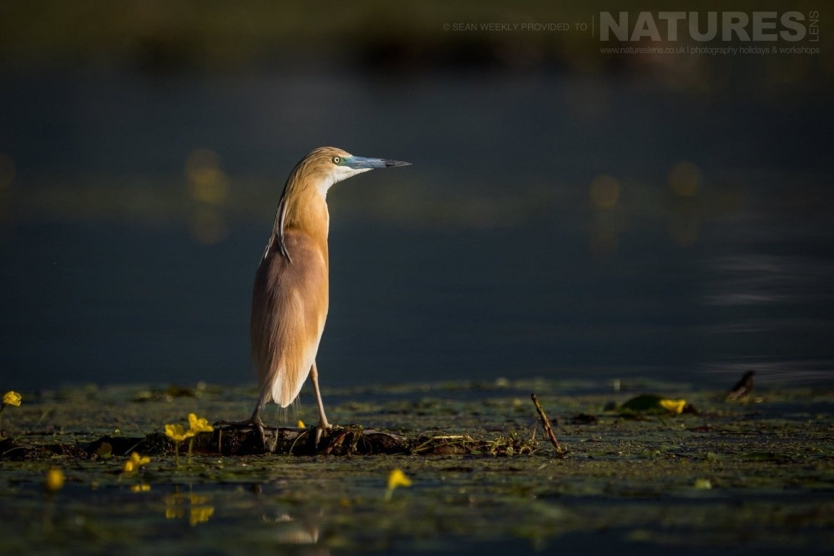 A Squacco Heron On Lake Kerkini   Photographed During The NaturesLens Spring Birds Of Lake Kerkini Photography Holiday