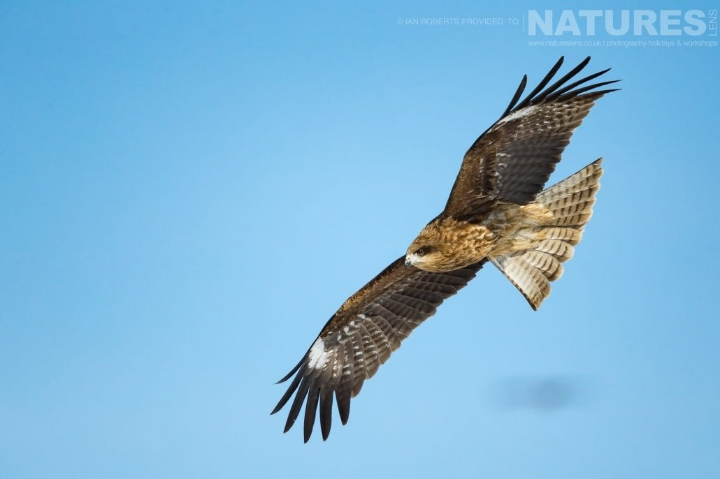 A black eared kite soars above the eagle feeding site photographed during the Winter Wildlife of Japan Photography Holiday