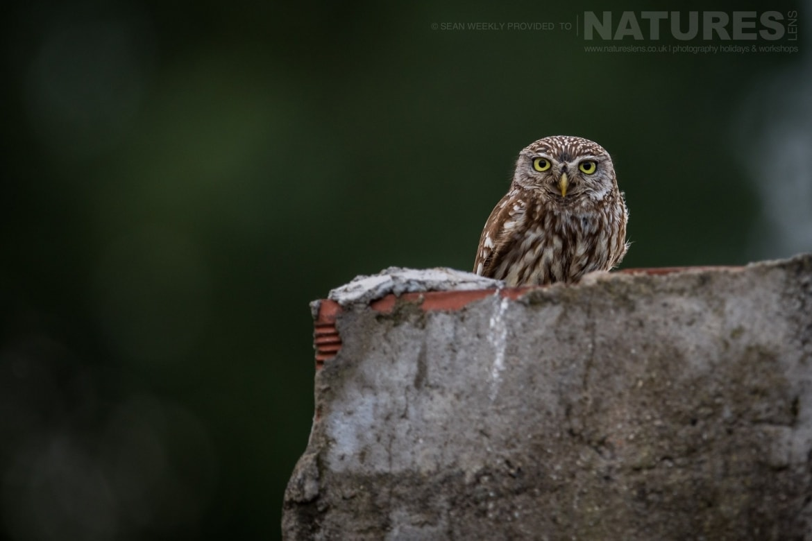 A Little Owl That Has Made One Of The Walls In Kerkini Home   Photographed During The NaturesLens Spring Birds Of Lake Kerkini Photography Holiday