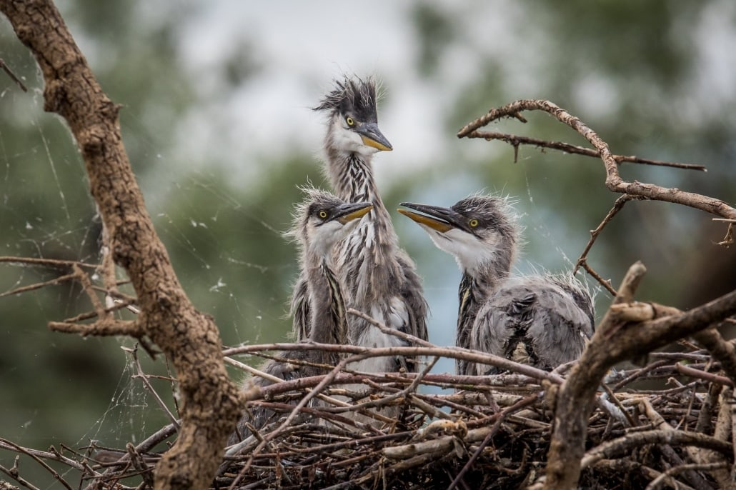 A Nest Full Of Grey Heron Chicks Photographed During The NaturesLens Spring Birds Of Lake Kerkini Photography Holiday