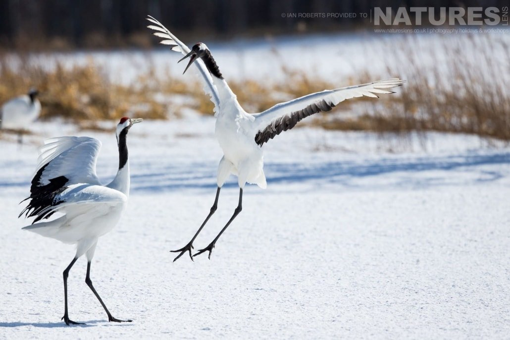 A pair of red crowned cranes performing their courtship dance photographed during the Winter Wildlife of Japan Photography Holiday
