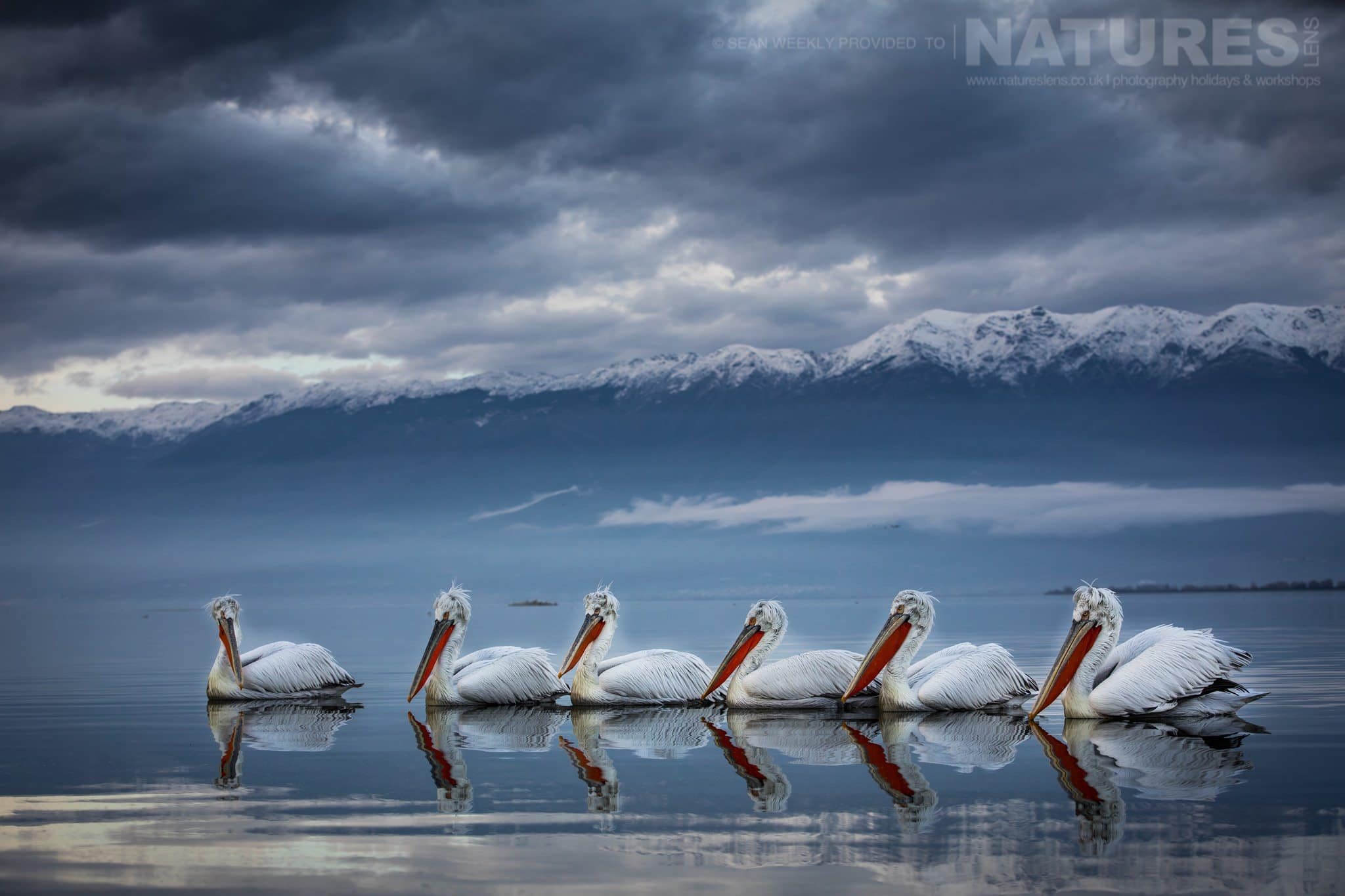 A squadron of six Dalmatian Pelicans drift gently on the waters of the lake during the blue hour photographed during one of the NaturesLens Kerkini Pelican Photography Holidays