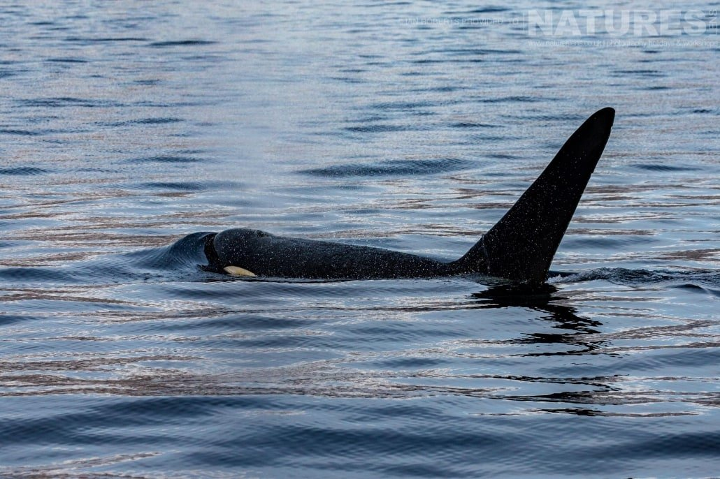 An orca swimming off the coast of Rausu in the Sea of Okhotsk photographed during the Winter Wildlife of Japan Photography Holiday