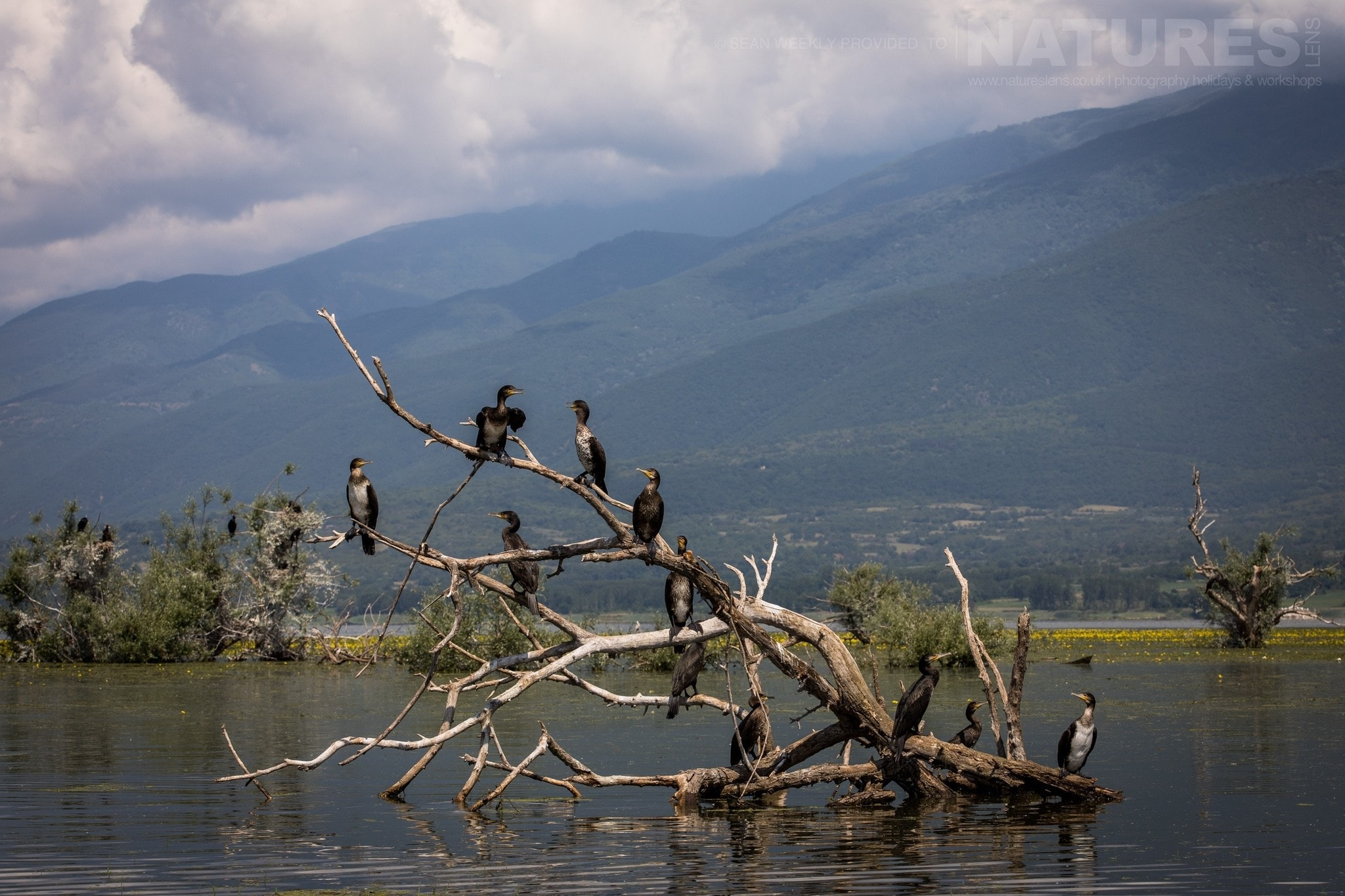 Comorants Drying Ther Wings In The Warming Greek Sun   Photographed During The NaturesLens Spring Birds Of Lake Kerkini Photography Holiday