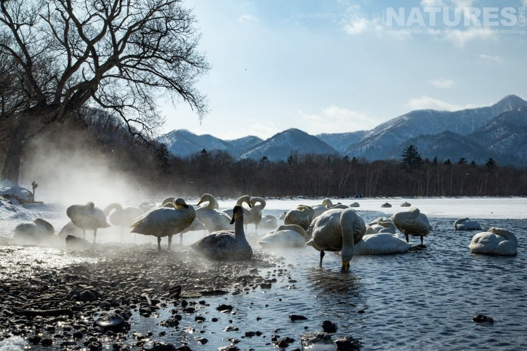Hokkado's whooper swans of Lake Kussharo, a caldera lake in a snowy landscape photographed during the Winter Wildlife of Japan Photography Holiday