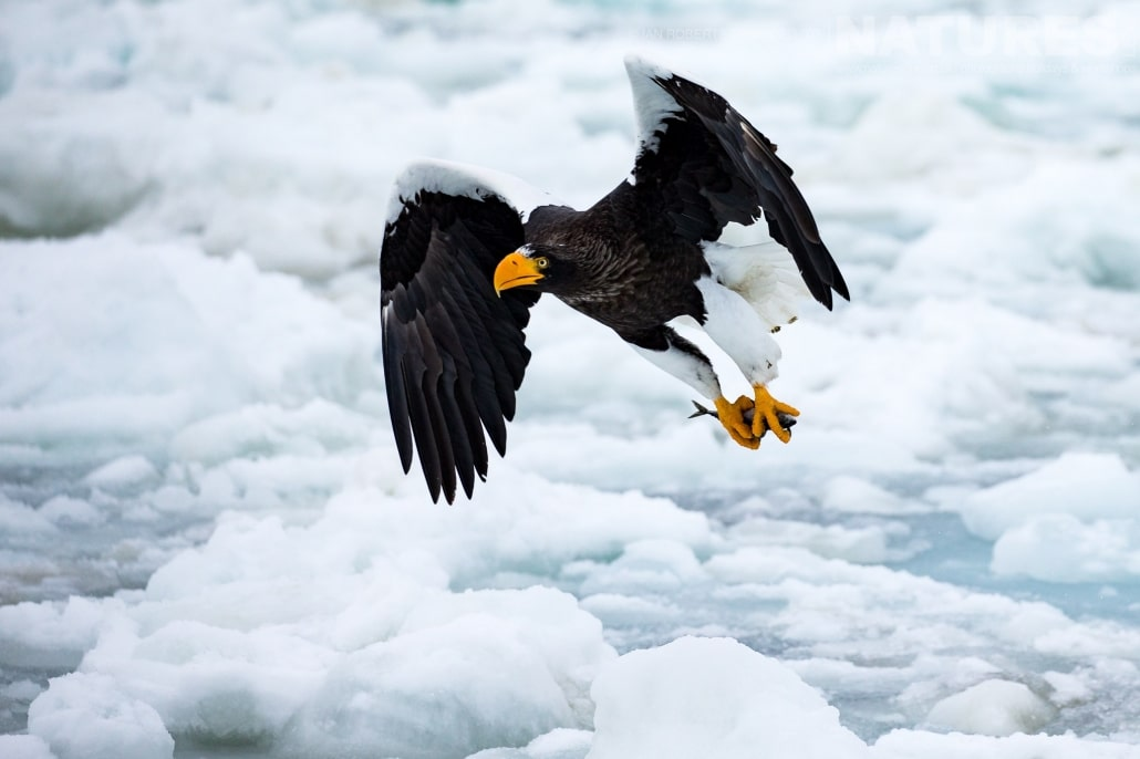 Making off with a fish, one of the Steller's Sea Eagles flies above the pack ice of the Sea of Okhotsk photographed during the Winter Wildlife of Japan Photography Holiday