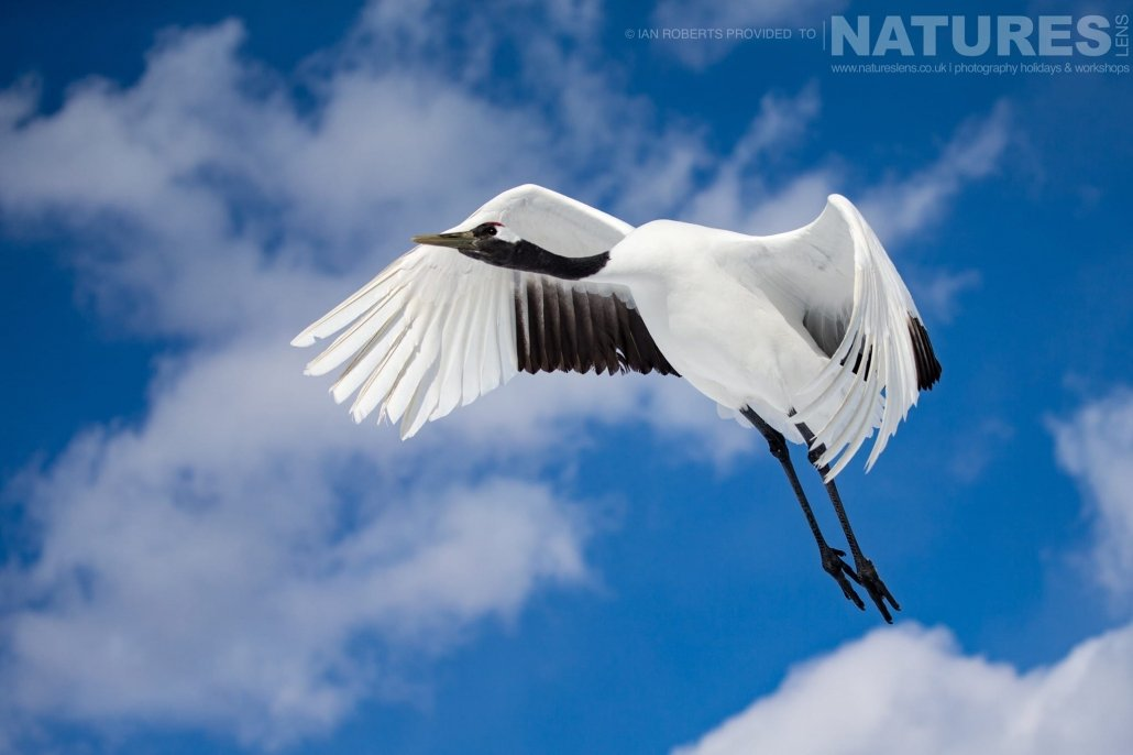 One of Hokkaido's red crowned cranes flies overhead photographed during the Winter Wildlife of Japan Photography Holiday