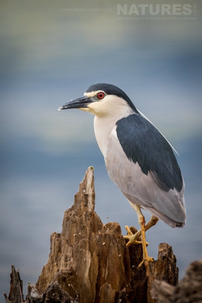 One Of The Black Crowned Night Herons Of Lake Kerkini Keeps An Eye Out   Photographed During The NaturesLens Spring Birds Of Lake Kerkini Photography Holiday