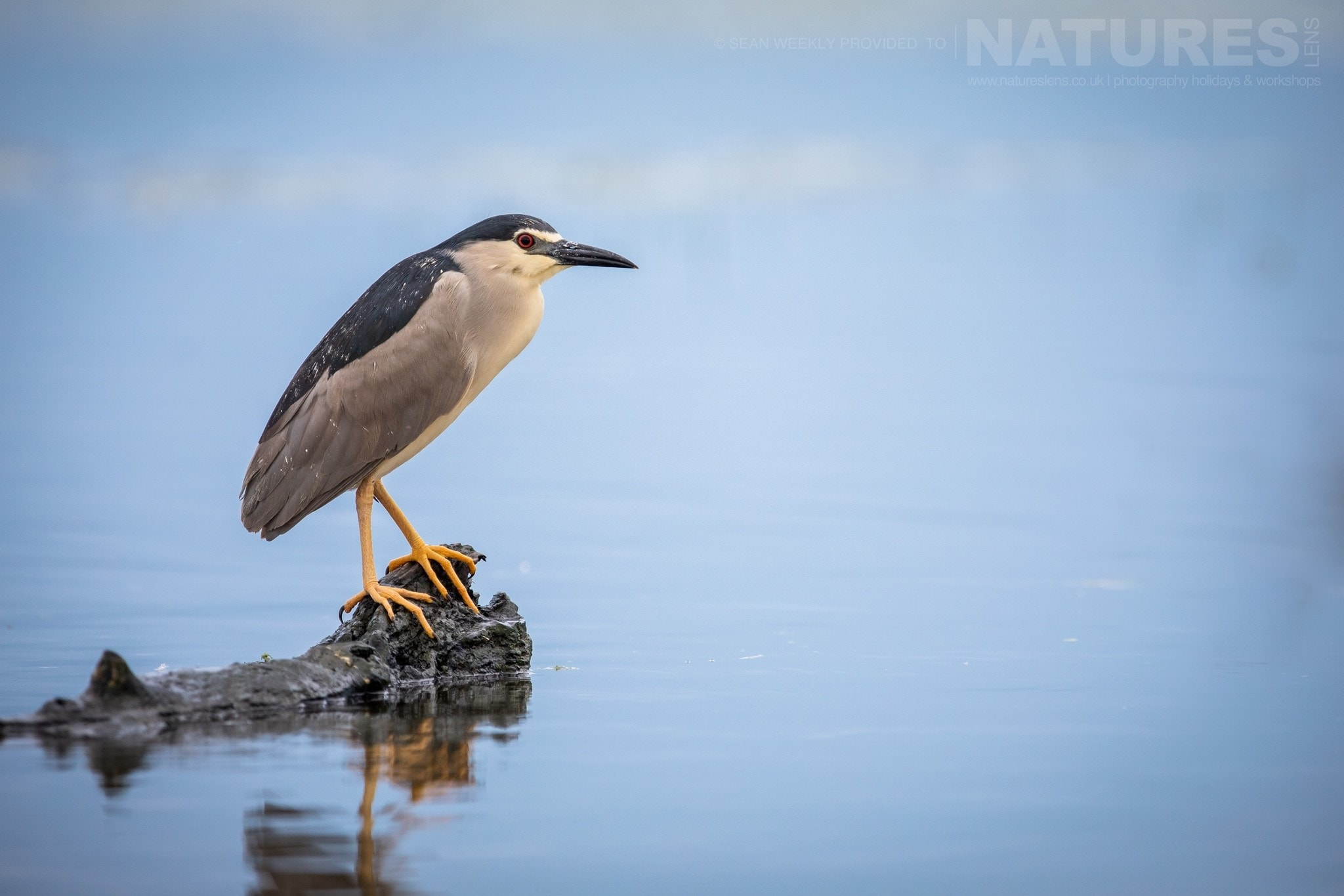 One Of The Black Crowned Night Herons Of Lake Kerkini   Photographed During The NaturesLens Spring Birds Of Lake Kerkini Photography Holiday