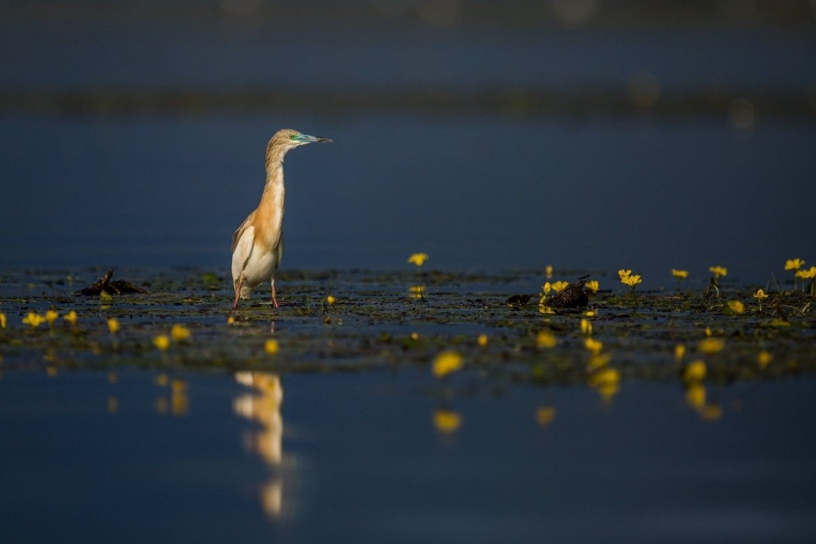 One Of The Squacco Herons Of Lake Kerkini Keeps A Wary Eye Out   Photographed During The NaturesLens Spring Birds Of Lake Kerkini Photography Holiday