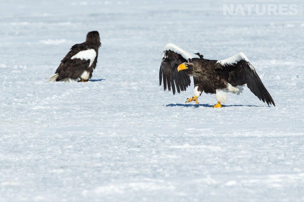 One of the Steller's Sea Eagles creeps in a comedic fashion over the surface of a frozen lake photographed during the Winter Wildlife of Japan Photography Holiday