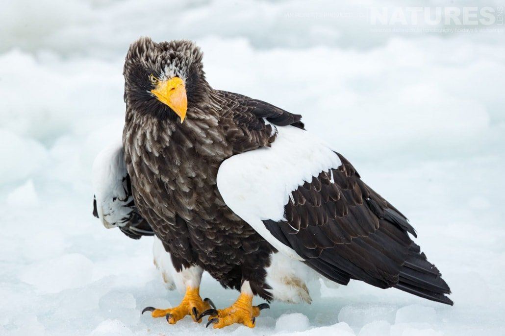 One of the Steller's Sea Eagles stood on the pack ice of the Sea of Okhotsk photographed during the Winter Wildlife of Japan Photography Holiday