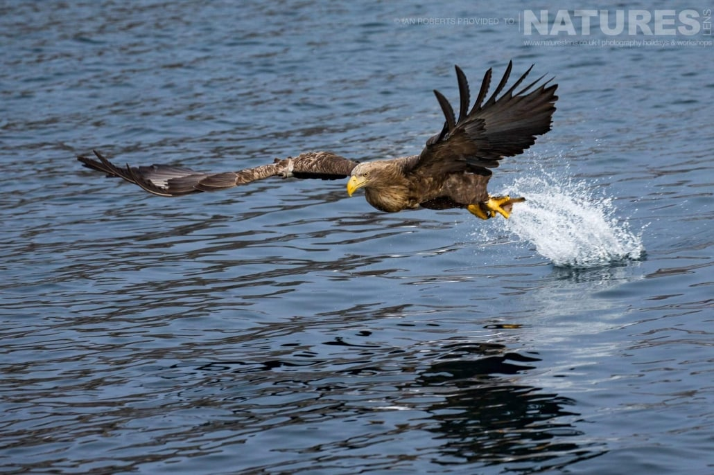 One of the White tailed Sea Eagles grabs a fish from the icy waters of the Sea of Okhotsk photographed during the Winter Wildlife of Japan Photography Holiday