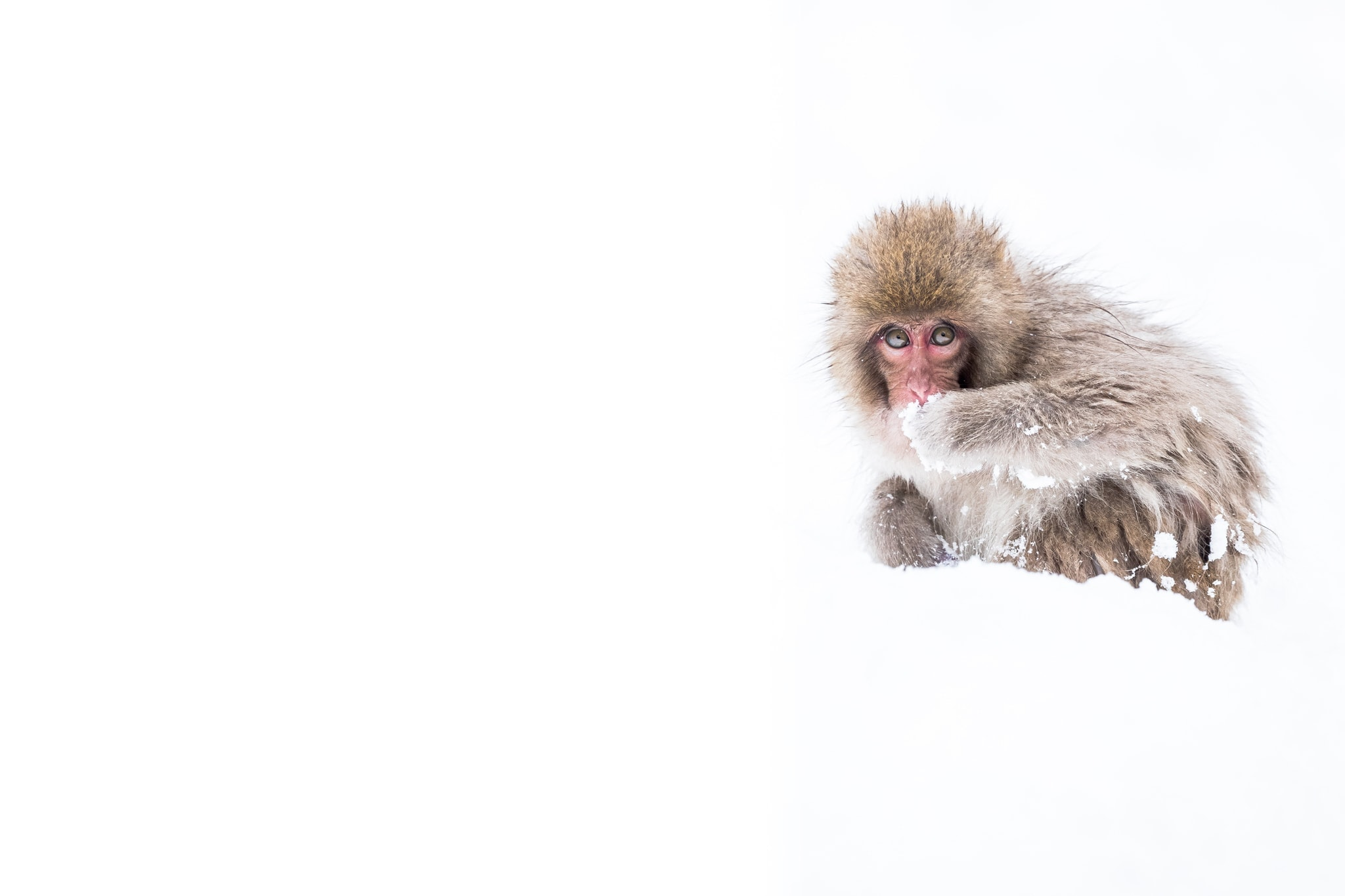 One of the Young Snow Monkeys of the Jigokudani Valley Photographed During the Natureslens Winter Wildlife of Japan Photography Holiday