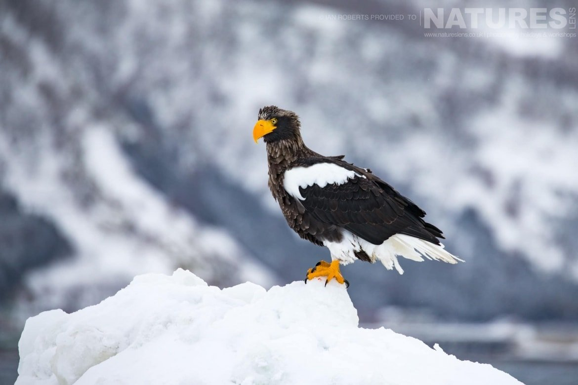 Perched on one of the pack ice icebergs, one of the Steller's Sea Eagles photographed during the Winter Wildlife of Japan Photography Holiday