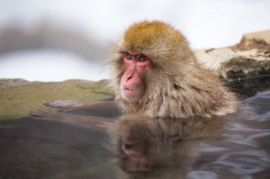 Resting in a pool surrounded by snow, one of Japan's famous snow monkeys bathes in the thermal waters photographed during the Winter Wildlife of Japan Photography Holiday
