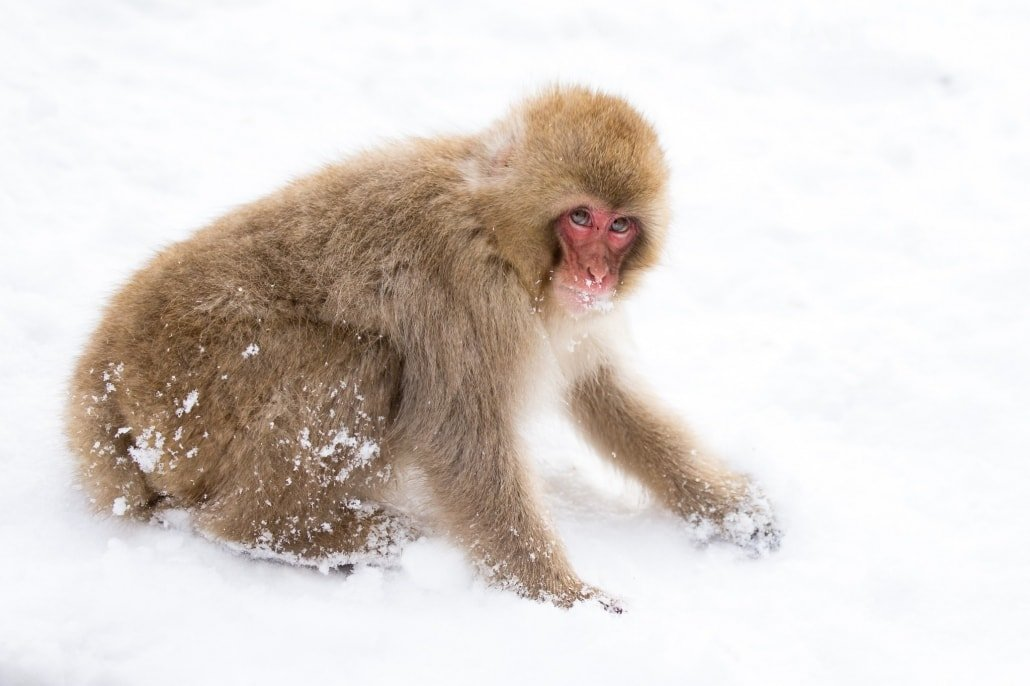Searching for food in the snow, one of Japan's famous snow monkeys photographed during the Winter Wildlife of Japan Photography Holiday