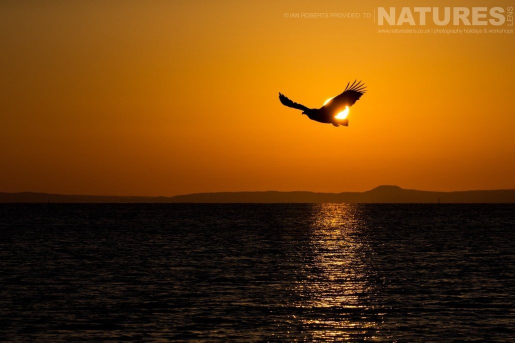 Silhouetted at sunrise, one of the Steller's Sea Eagles grabs a fish from the ciy waters of the Sea of Okhotsk photographed during the Winter Wildlife of Japan Photography Holiday