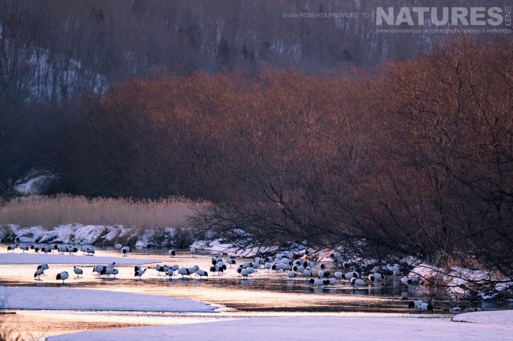 The famous red crowned cranes roost photographed during the Winter Wildlife of Japan Photography Holiday