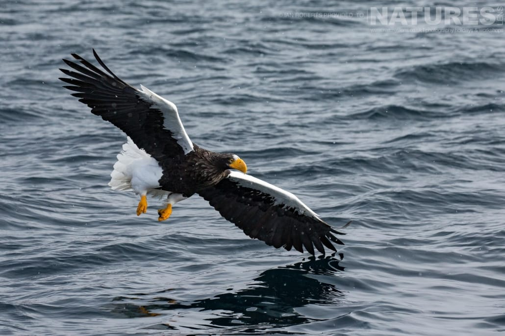 Wings out stretched, one of the Steller's Sea Eagles soars over the icy waters of the Sea of Okhotsk photographed during the Winter Wildlife of Japan Photography Holiday