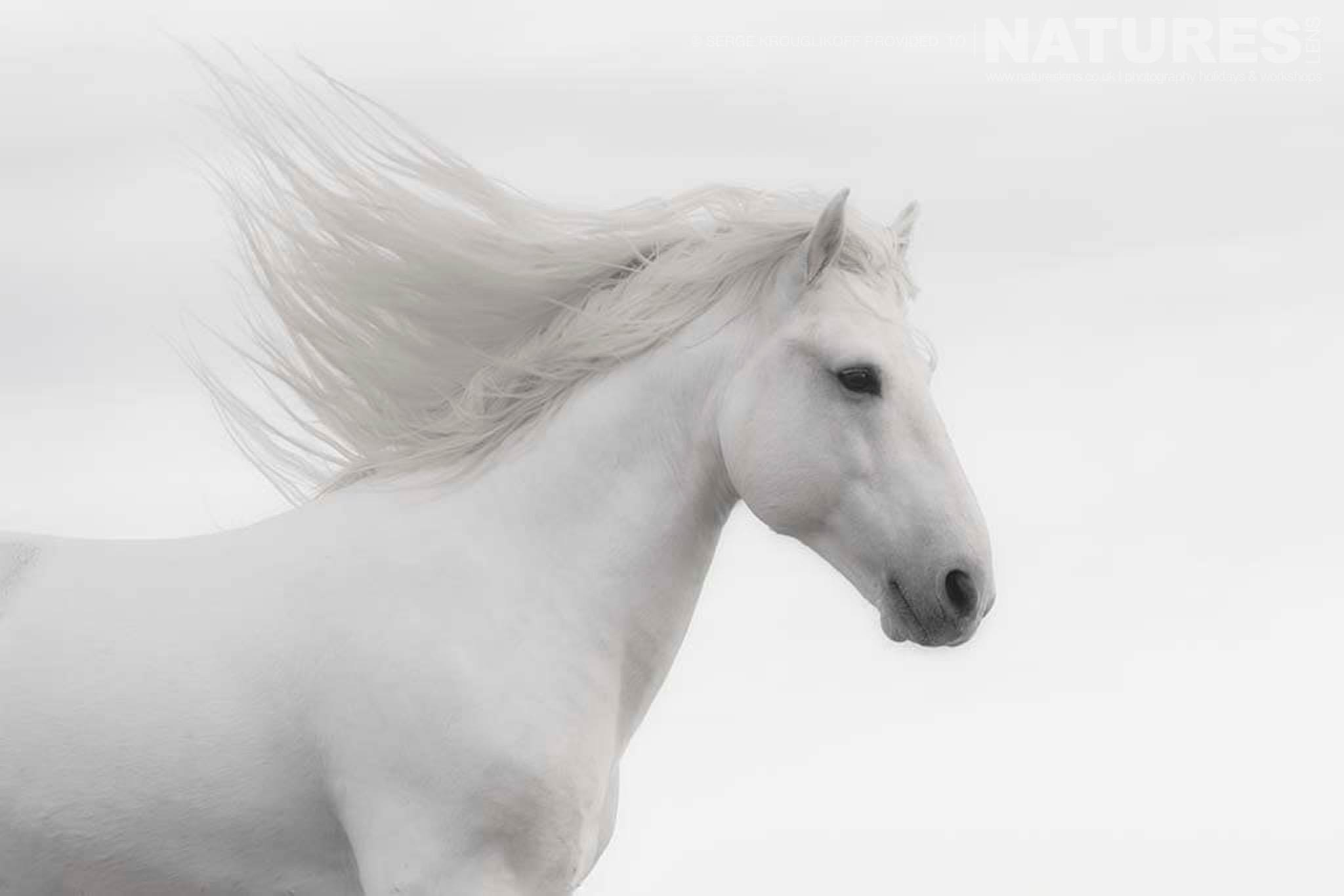 A dream like portrait of a white stallion typical of the type of image that may be captured during the NaturesLens Wild White Horses of the Camargue Photography Holiday