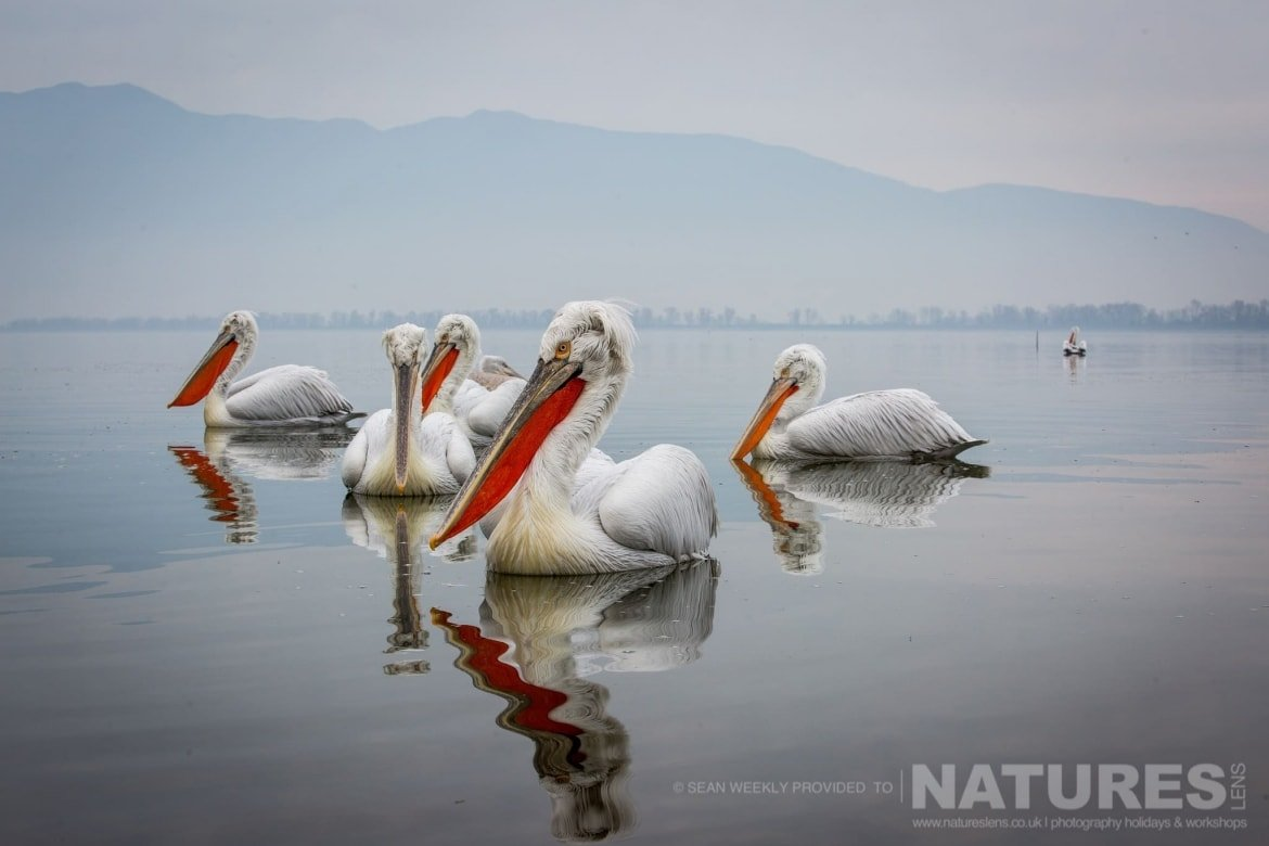 A group of Dalmatian Pelicans known as a pod or a squadron photographed during one of the NaturesLens Kerkini Pelican Photography Holidays