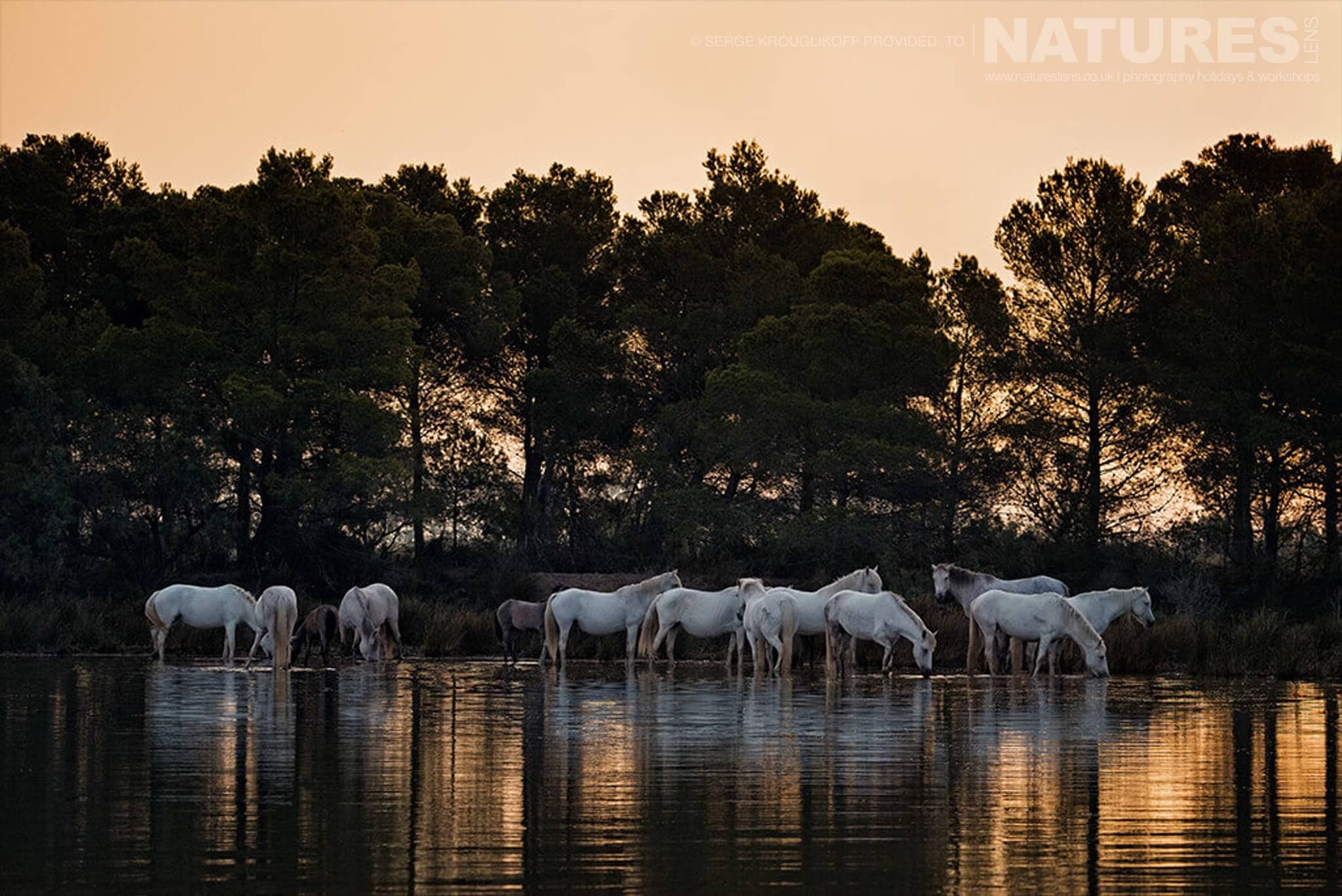 A herd of horses standing in tranquil water and drinking typical of the type of image that may be captured during the NaturesLens Wild White Horses of the Camargue Photography Holiday