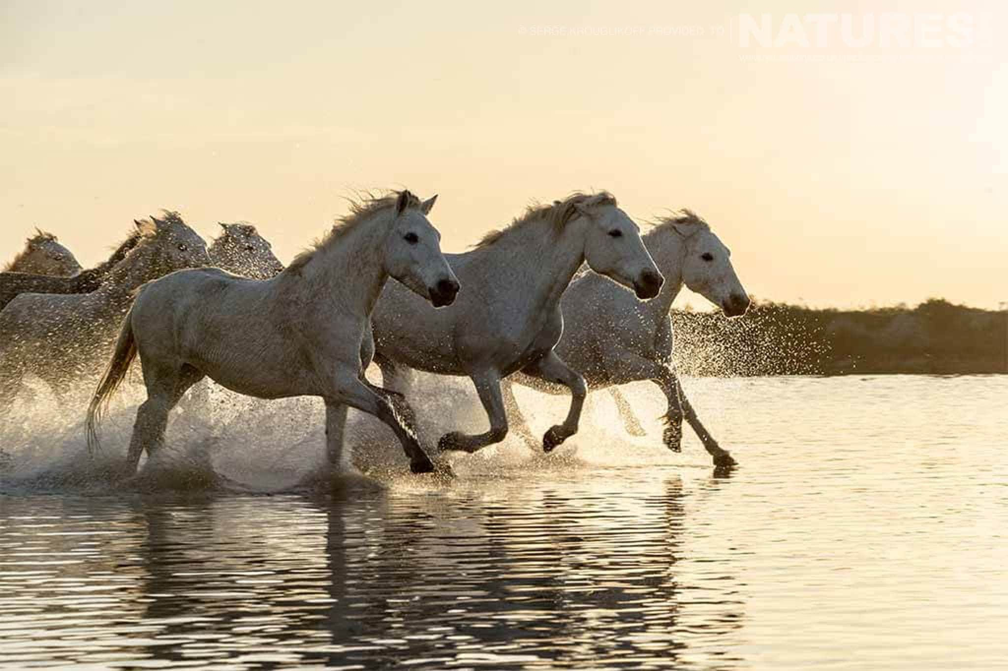 A herd of white horses dash through shallow waters as the sun sets typical of the type of image that may be captured during the NaturesLens Wild White Horses of the Camargue Photography Holiday
