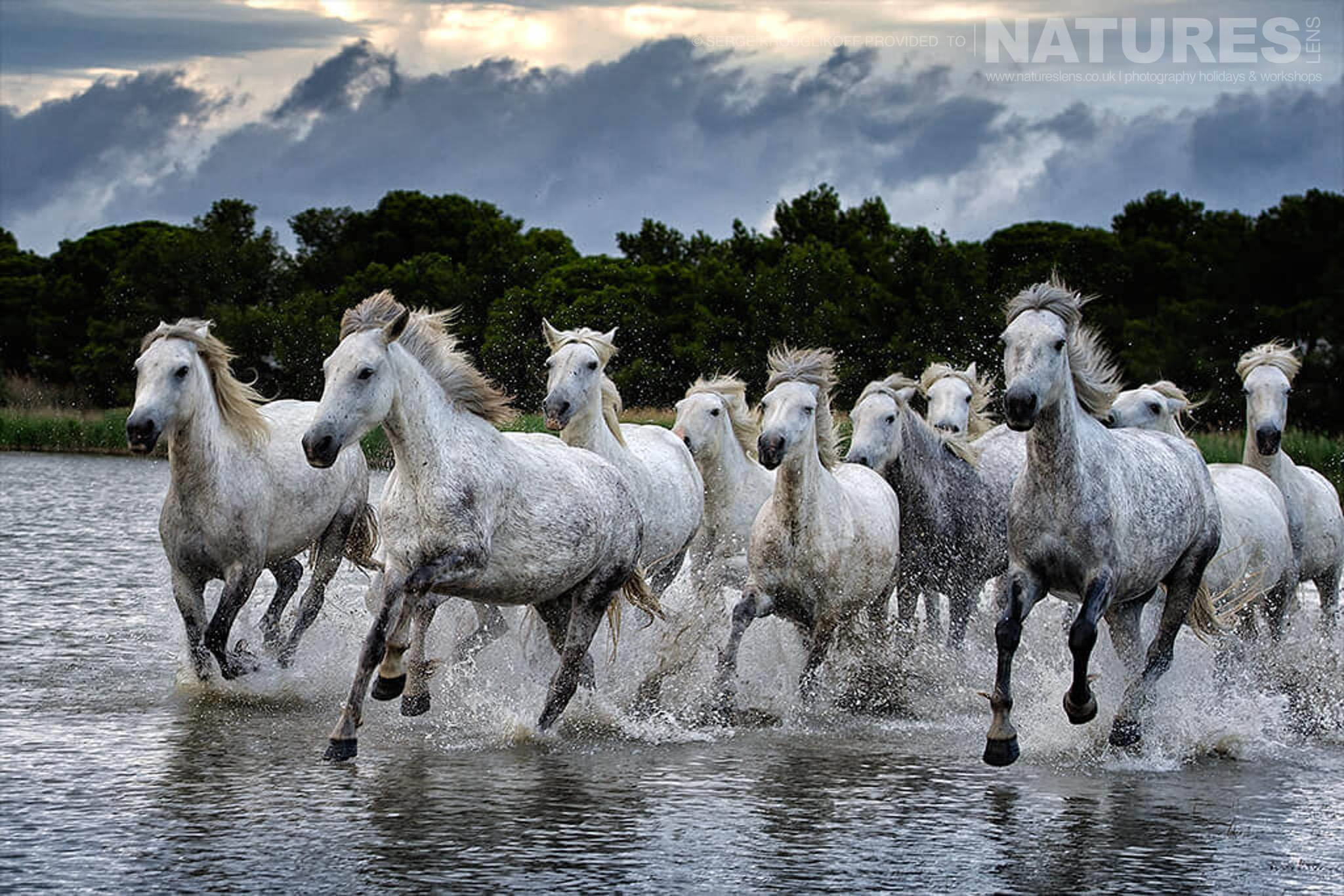 A herd of white horses running in shallow water as the light fades typical of the type of image that may be captured during the NaturesLens Wild White Horses of the Camargue Photography Holiday