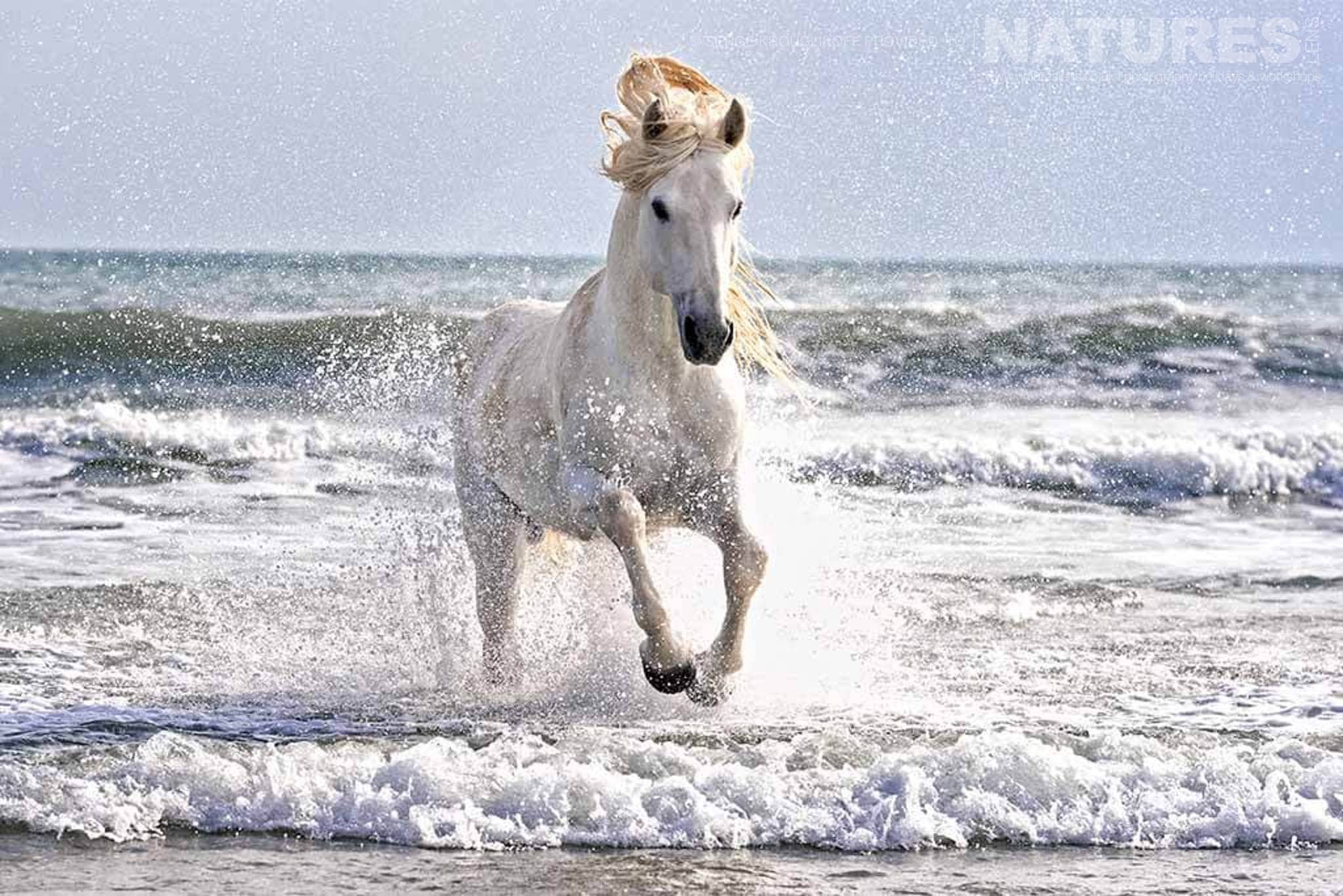 A lone white horse emerges from the surf typical of the type of image that may be captured during the NaturesLens Wild White Horses of the Camargue Photography Holiday