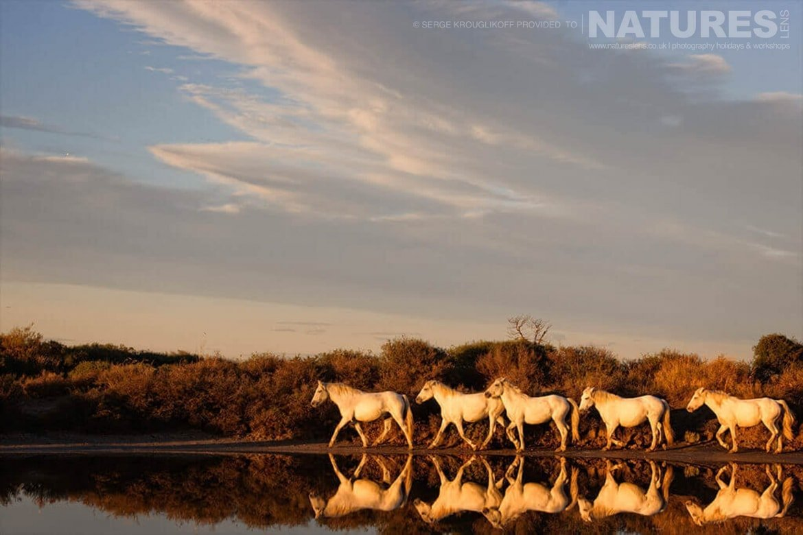 A perfect reflection of white horses walking in single file at sunset typical of the type of image that may be captured during the NaturesLens Wild White Horses of the Camargue Photography Holiday