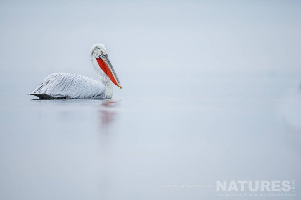 A single example of one of the Kerkini Pelicans drifts on the waters of the lake photographed during one of the NaturesLens Kerkini Pelican Photography Holidays