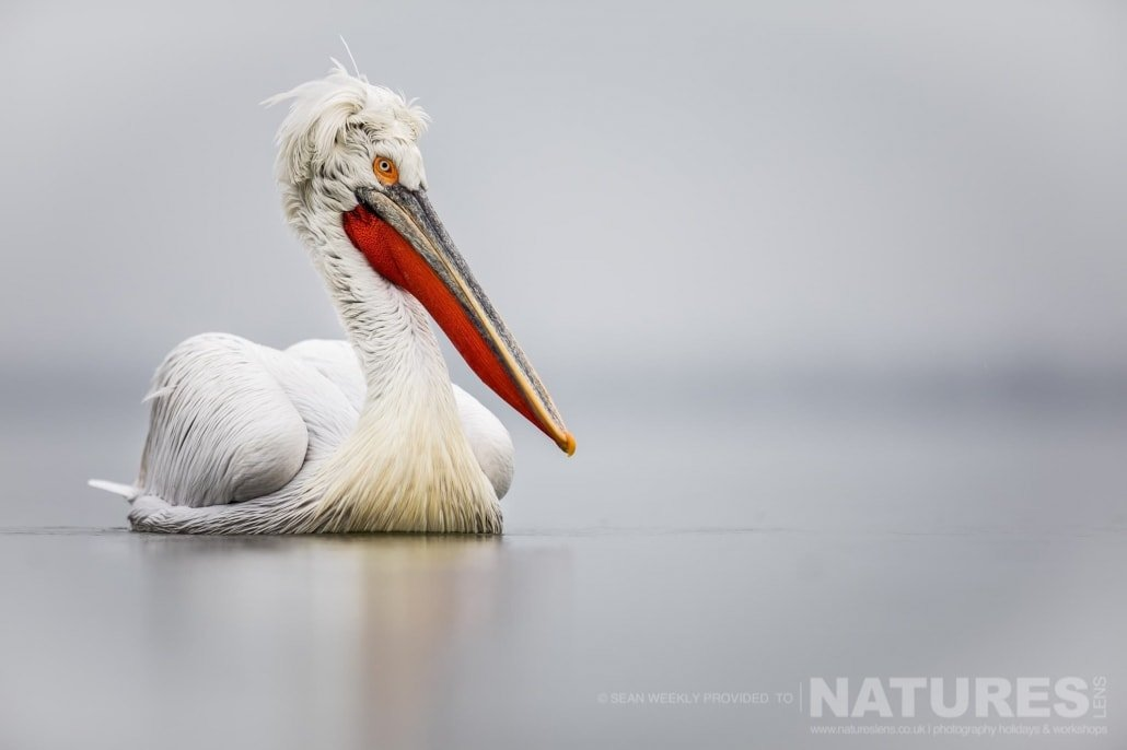 A solitary Dalmatian Pelican drifts on the waters of the lake photographed during one of the NaturesLens Kerkini Pelican Photography Holidays
