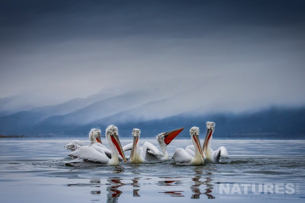 A squadron of the Kerkini Dalmatian Pelicans photographed during one of the NaturesLens Kerkini Pelican Photography Holidays