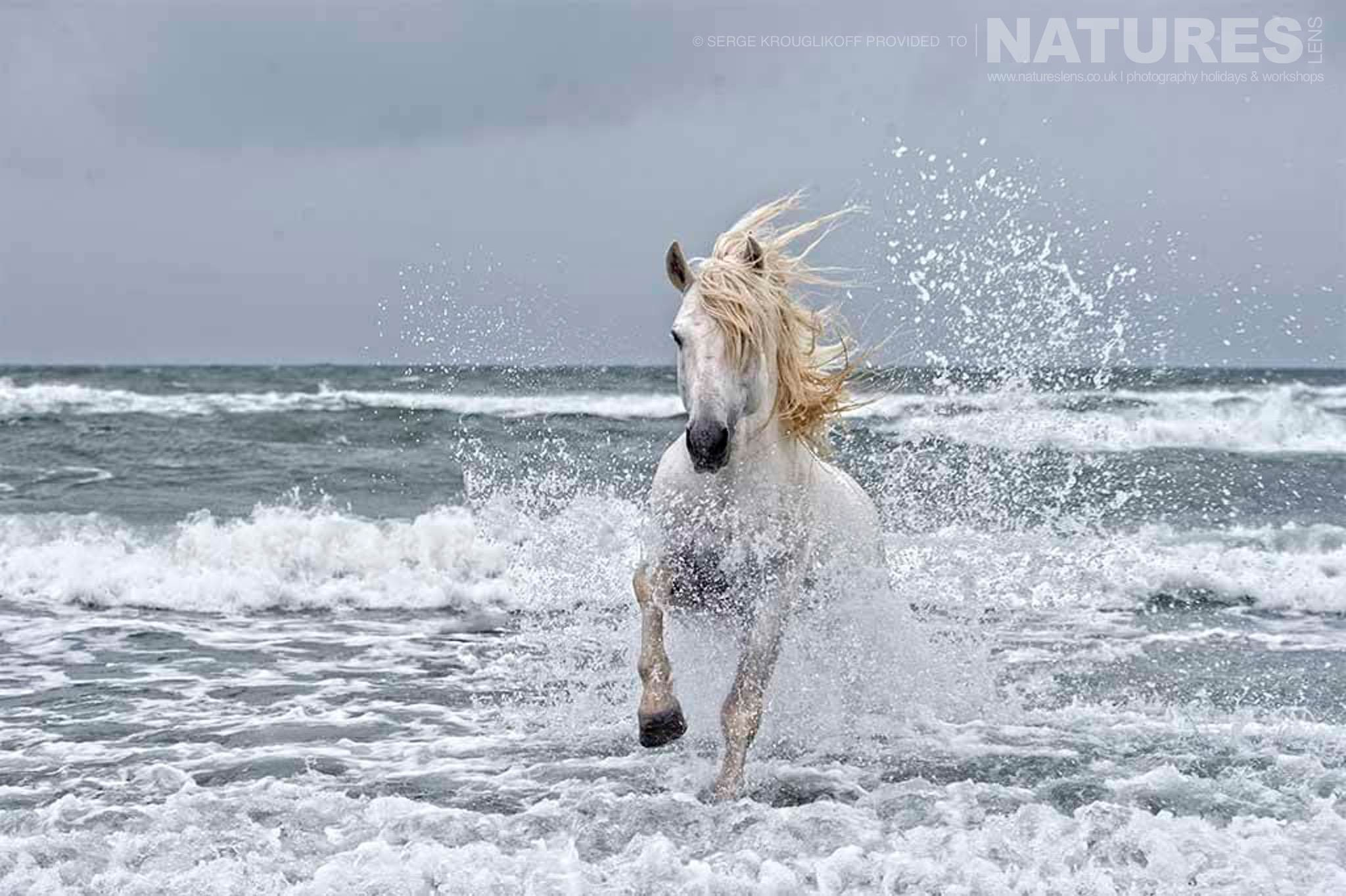 A white stallion walking through the surf typical of the type of image that may be captured during the NaturesLens Wild White Horses of the Camargue Photography Holiday