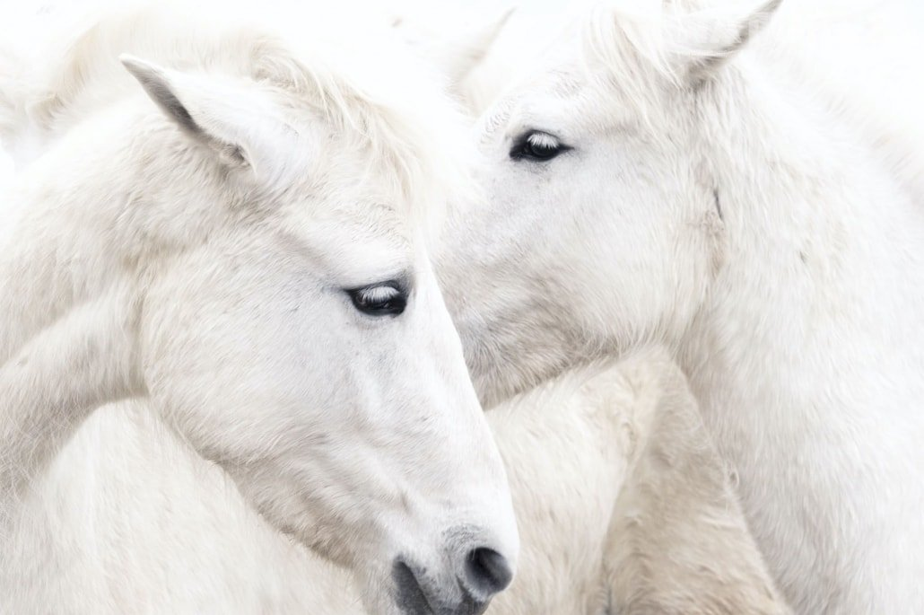 An intimate portrait of two horses photographed close up in high key typical of the type of image that may be captured during the NaturesLens Wild White Horses of the Camargue Photography Holiday
