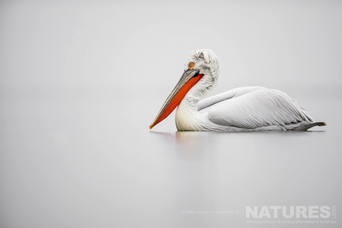An isolated Dalmatian Pelican drifts on the waters of the lake photographed during one of the NaturesLens Kerkini Pelican Photography Holidays