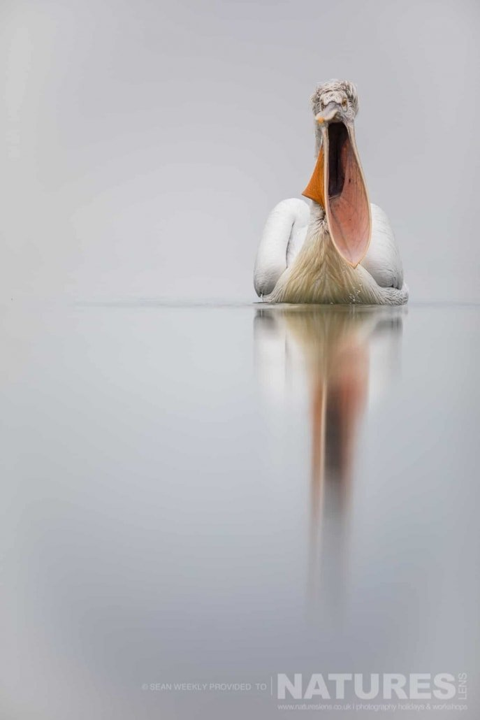 Beak wide open, a somewhat 'distinct' image of one of the Kerkini Pelicans photographed during one of the NaturesLens Kerkini Pelican Photography Holidays
