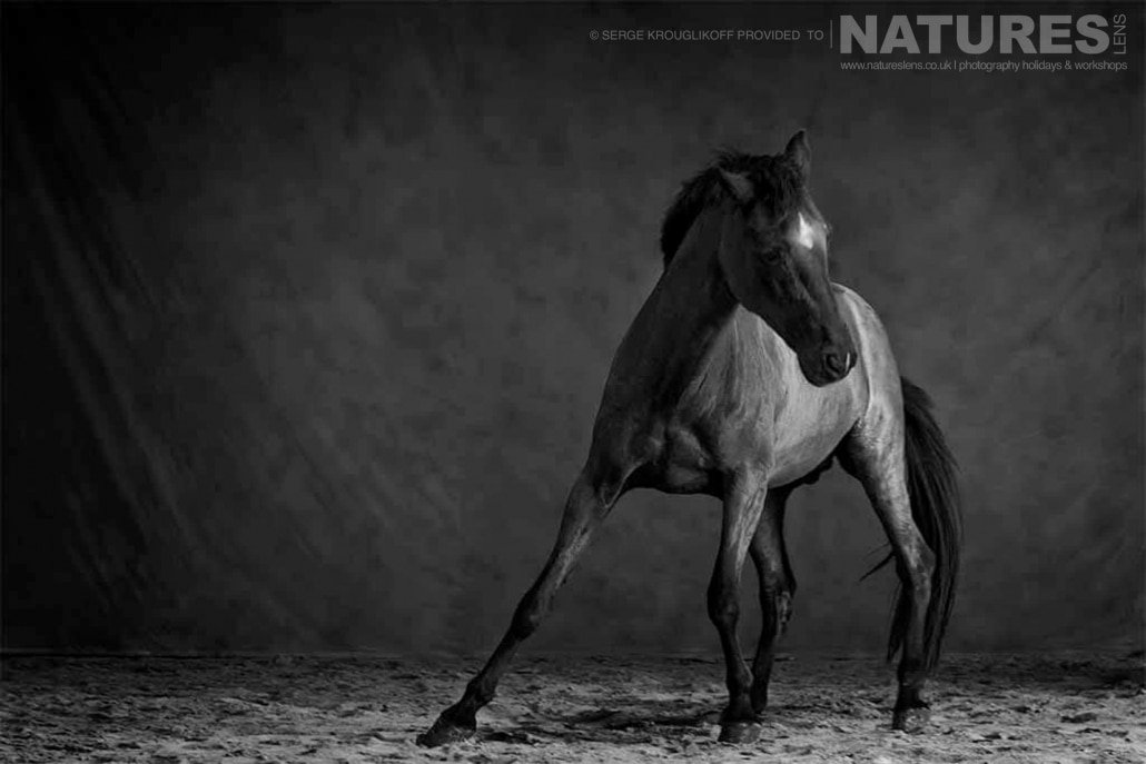 Black Stallion posing during a special portrait session typical of the type of image that may be captured during the NaturesLens Wild White Horses of the Camargue Photography Holiday
