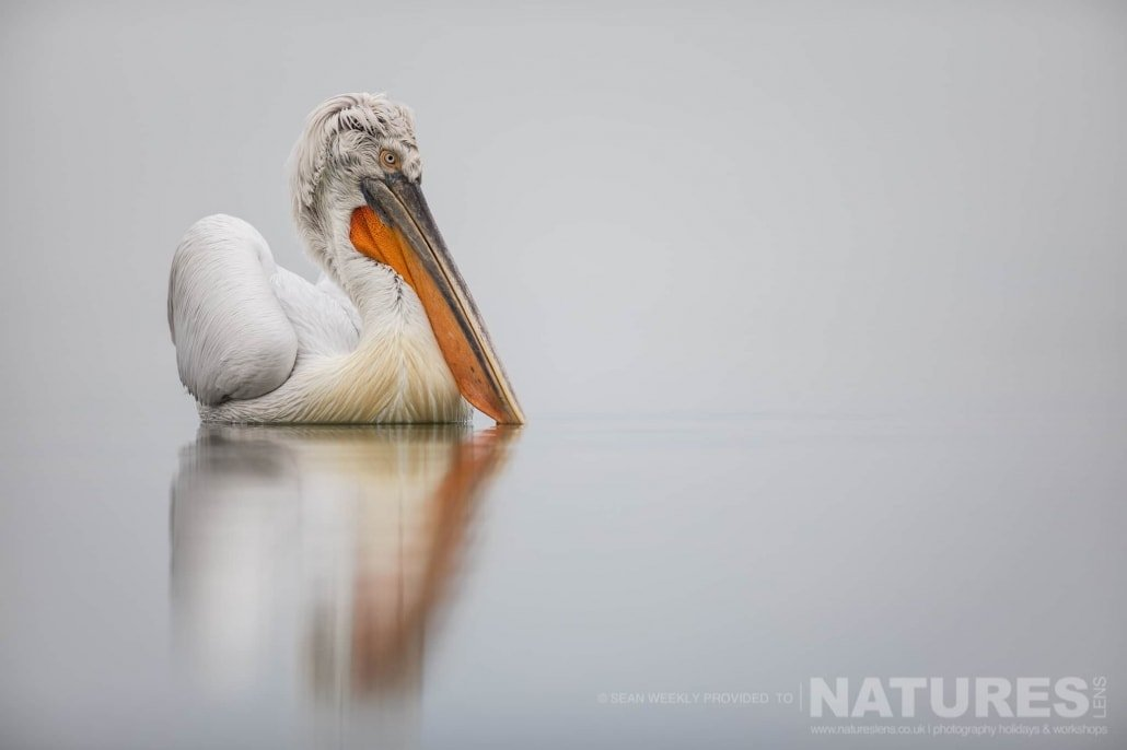 One of Kerkini's Dalmatian Pelican drifts on the waters of the lake photographed during one of the NaturesLens Kerkini Pelican Photography Holidays